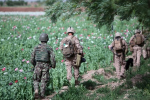 U.S. Military standing guard over an opium field in Afghanistan. (Global Research).